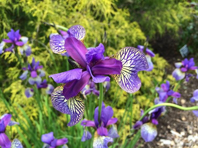 Siberian Iris Photo