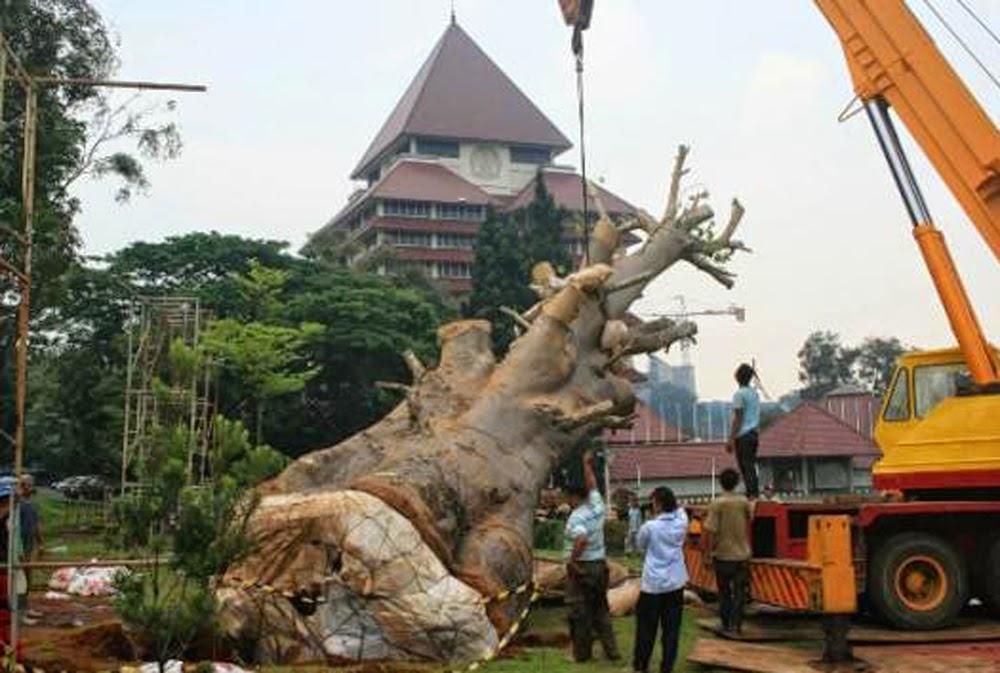 Beberapa pohon Ki Tambleg dari Subang yang dipindah ke lingkungan Univ. Indonesia.