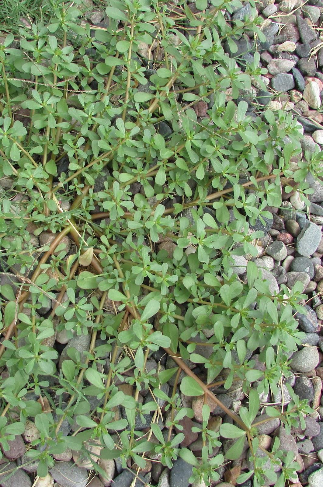 Growing Purslane How To Grow Edible Purslane In The Garden: William & Mary Dyer