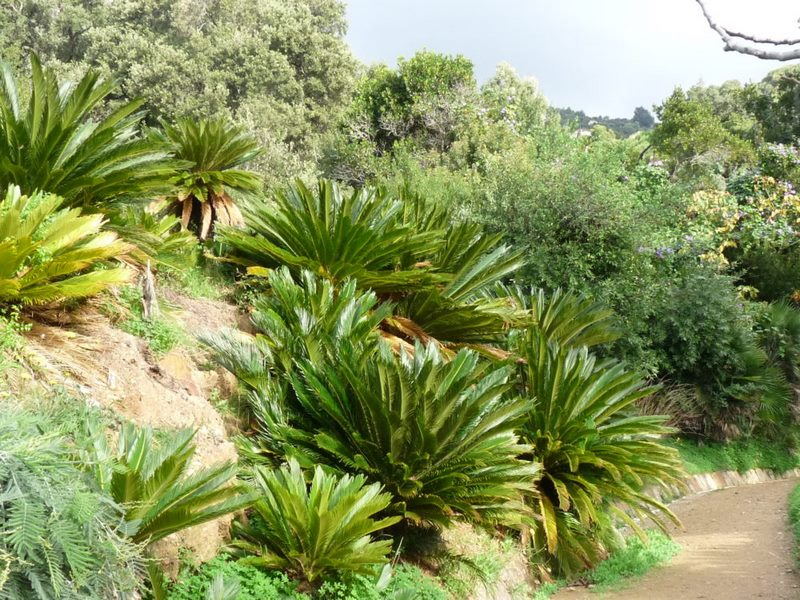 Cycas revoluta. Jardín de Asia subtropical. Jardin plantas clima mediterráneo (Domaine du Rayol) diseño: Gilles Clement