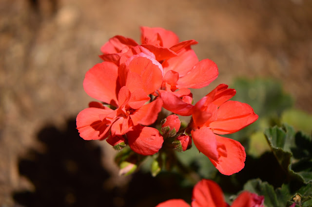 pelargonium, geranium, small sunny garden, garden bloggers bloom day, amy myers, desert garden