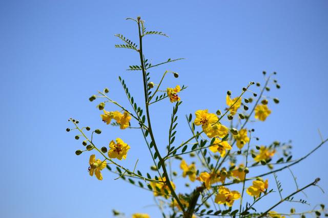parkinsonia, palo verde, amy myers, small sunny garden, desert garden,