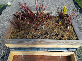 http://carniplantplantascarnivoras.blogspot.com.es/2017/12/pantano-exterior-1.html