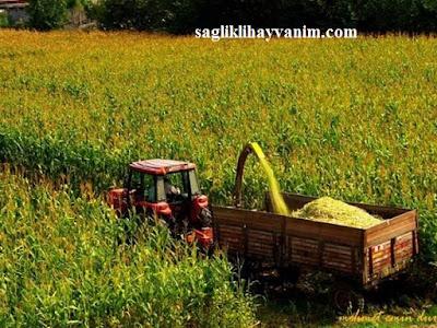 mısır silajı kaba yem özellikleri