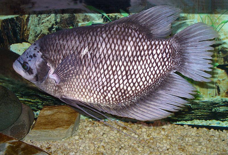 Ikan Gurami Cepat Besar Ternyata Ini Cara Mereka