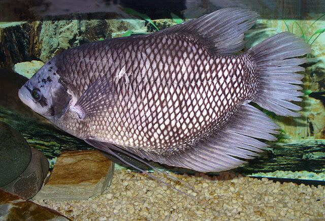 Peternakan, Ternak Ikan, Cara agar ikan gurame cepat besar, Tips membesarkan ikan gurami, Budidaya ikan gurami agar cepat besar, Makanan ikan gurame agar cepat besar, Budidaya ikan gurame,