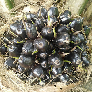 pupuk pembesar buah kelapa sawit