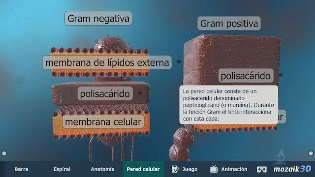 pared celular de bacterias gram+ y gram-
