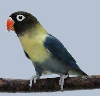 lovebird parblue personata