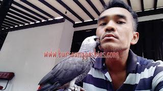 Burung Afgrey Jinak
