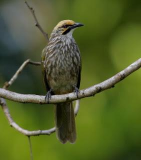Budidaya Ternak Burung Cucak Rowo