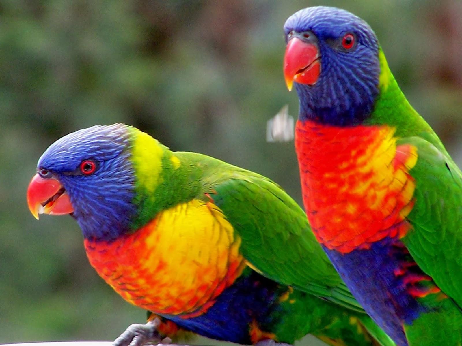 A Beautiful Couple Of Lorikeet Birds Wallpaper Hd: The Rainbow Lorikeet HD Wallpapers And Taxonomy