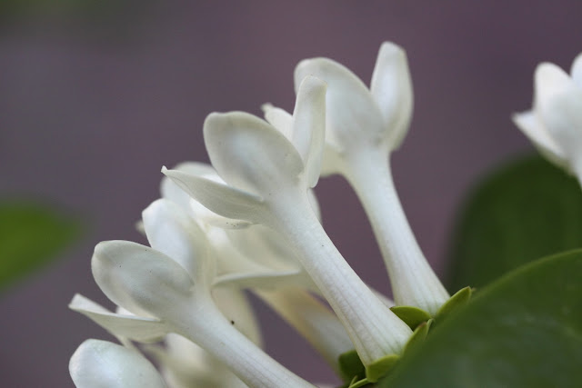 Stephanotis floribunda (Madagascar jasmine) open flowers bunch