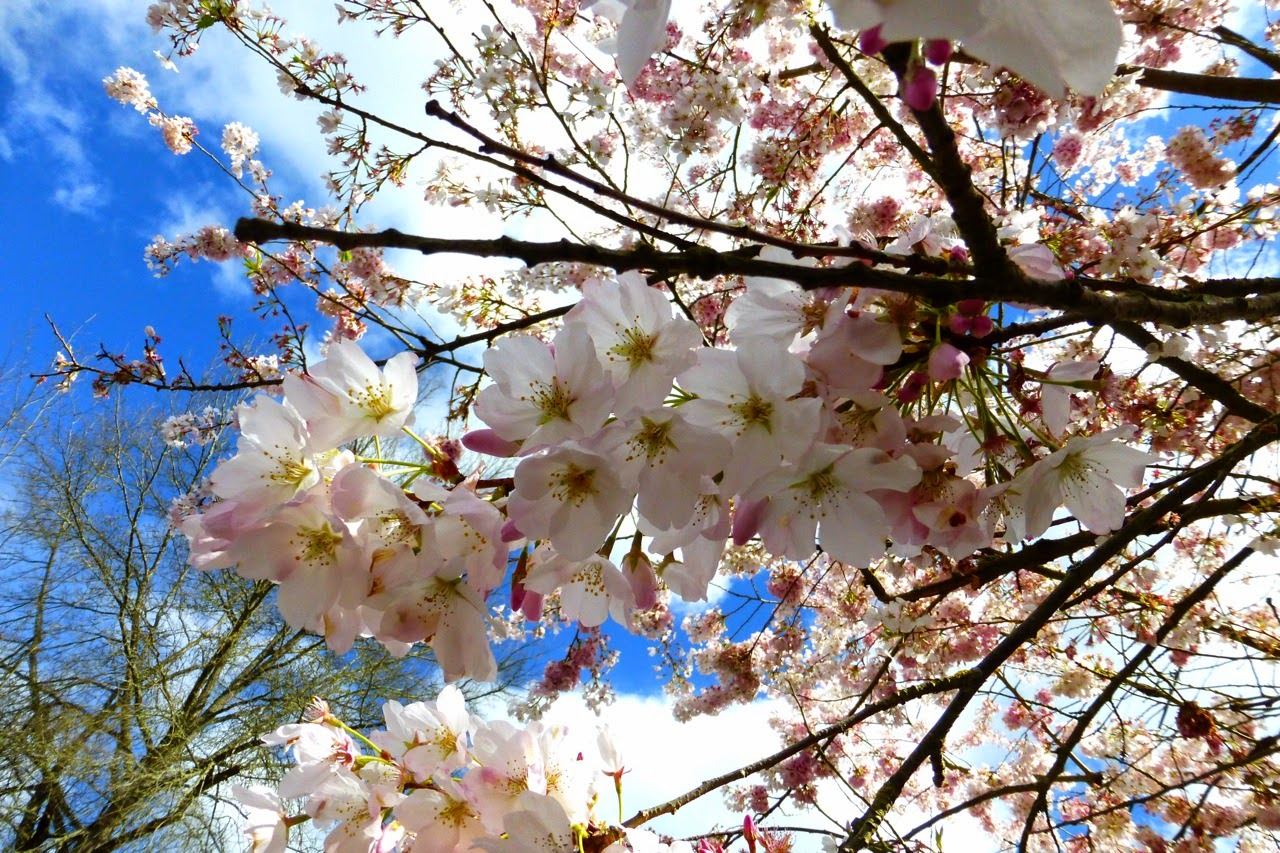 ume hanami, first day of spring, under a plum blossom tree, plum blossom, pink plum blossom, blossom and sky, pink blossm, blue sky