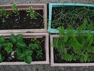 Different troughs with vegetables growing