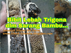 BIBIT KLANCENG
