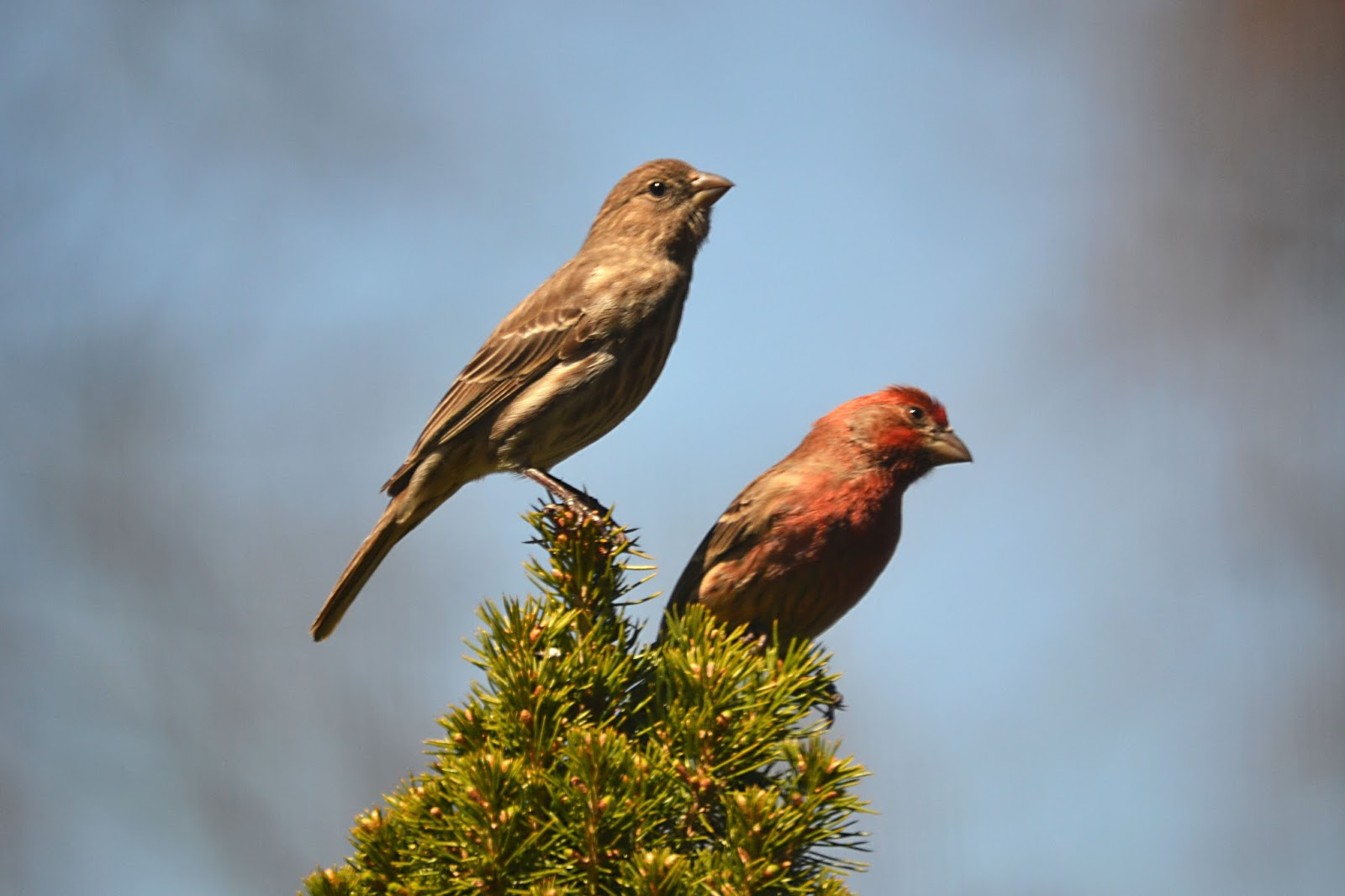 J Two O Love Is In The Air House Finch Update