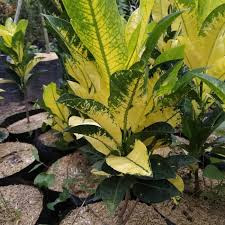 Jual Tanaman Hias Puring Tissue | Harga Tanaman Puring Tisu | Jasa Tukang Taman Dibogor