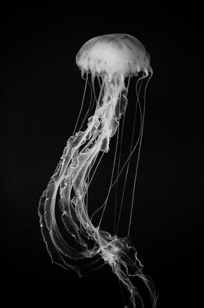Moon jellyfish no 8