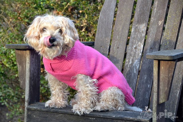 Ruby, the rescue dog is pretty in pink in her dog sweater