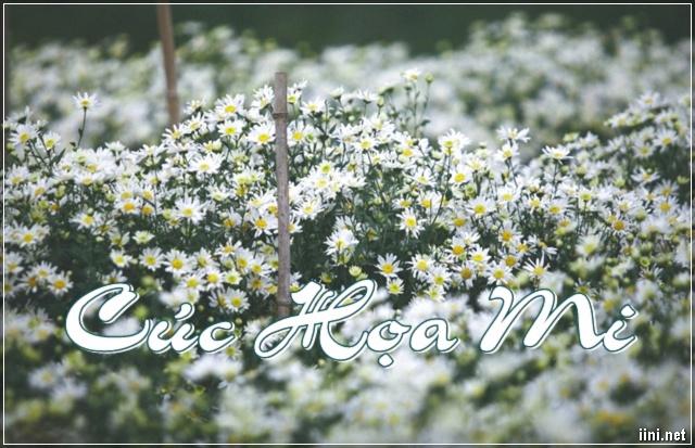 Thơ hay viết về Cúc Họa Mi với những lời yêu thương, lãng mạn nhất