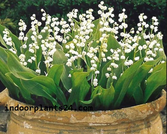 Liliaceae LILY of the Valley Indoor Plant image