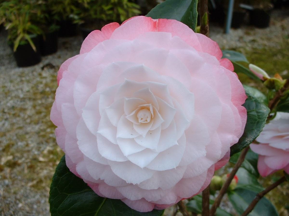 camellia japonica 39 desire 39 the garden of eaden. Black Bedroom Furniture Sets. Home Design Ideas