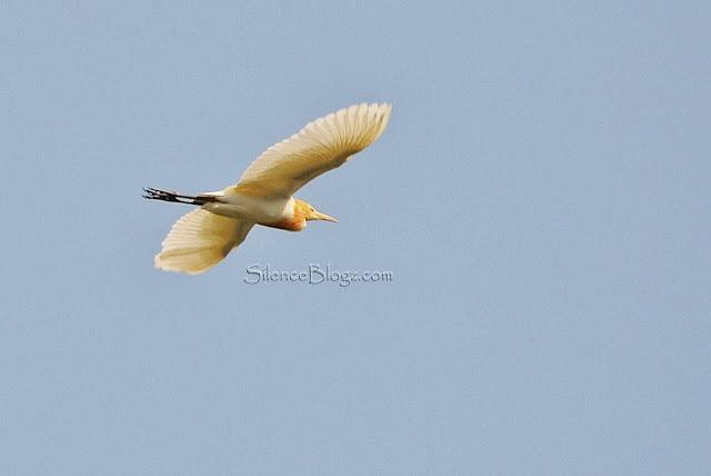 Cattle Egret - meninjau burung Taman Millineum