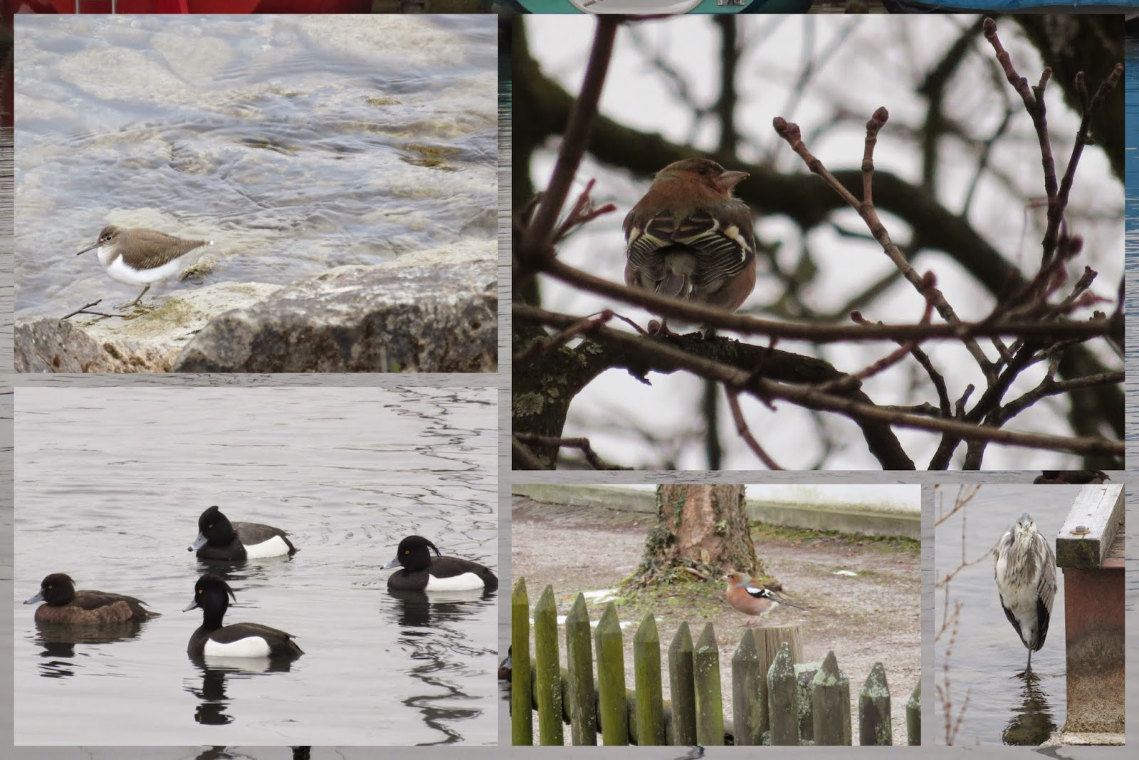 sandpiper, chaffinch, tufted ducks, and heron on Zurich See
