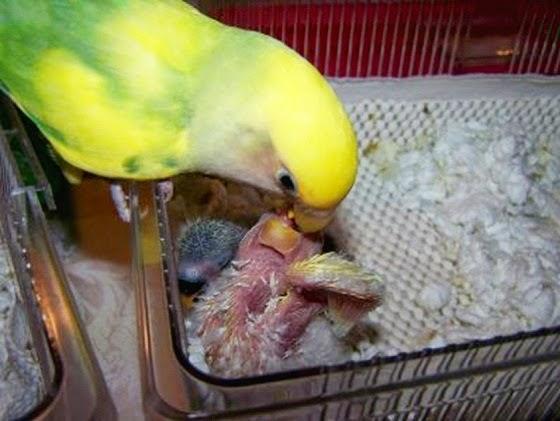 Info Pakan Yang Baik Untuk Burung Lovebird