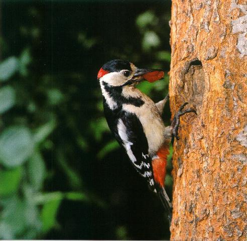 Descrizione picchio for Il nido del picchio