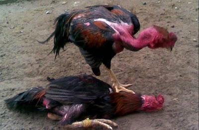 Tradisi Sabung Ayam Diberbagai Kalangan Negara