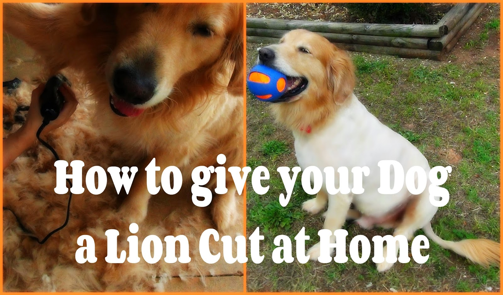 how to give your dog a lion cut at home | video | | kjaggers