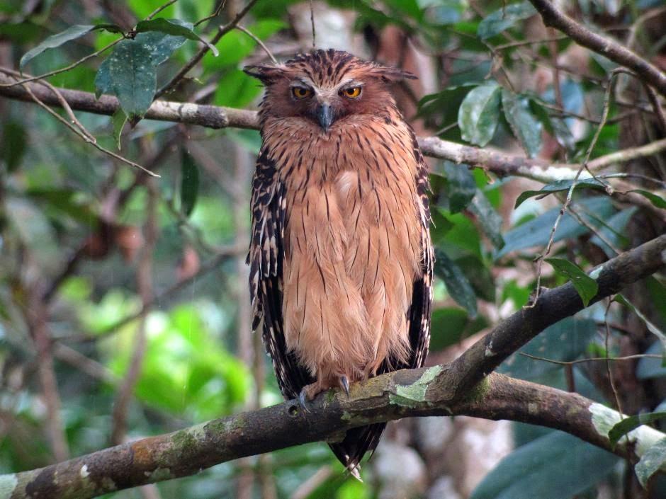 Búho pescador malayo: Ketupa ketupu