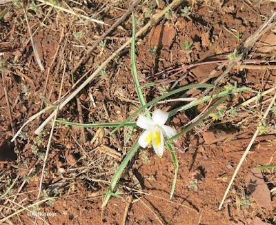 star-lily Leucocrinum montanum