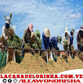 los-agricultores-de-mani-pataki-de-otropu-yekun