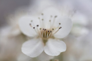 Beautiful soft detail of a Bradford pear blossom, a white flower native to Texas