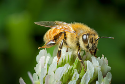 honey bee, honey benefits