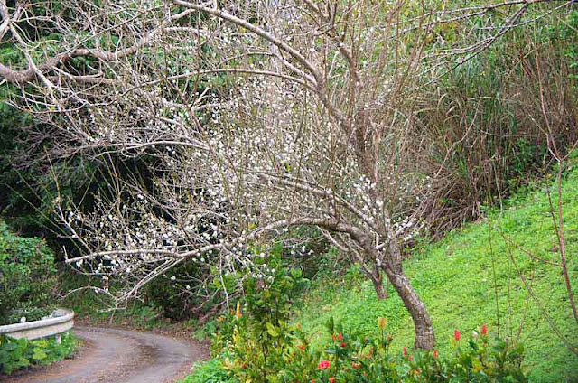 Plum tree blooming on a mountain road