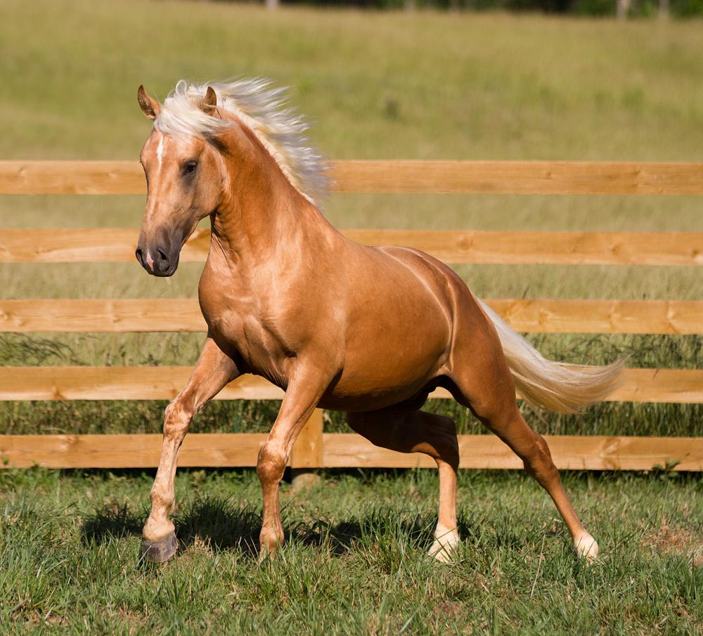 palomino foal - photo #31