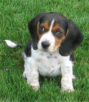 Teacup Beagles For Sale | Beagle Puppy