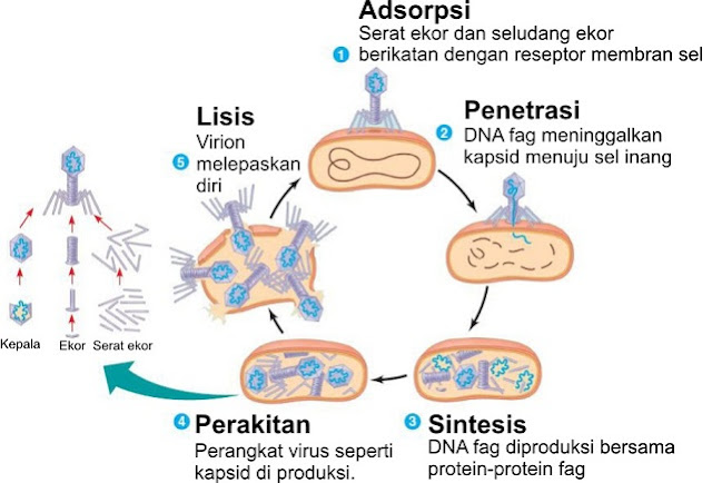 Tahapan Siklus Litik Pada Replikasi Viris Bakteri