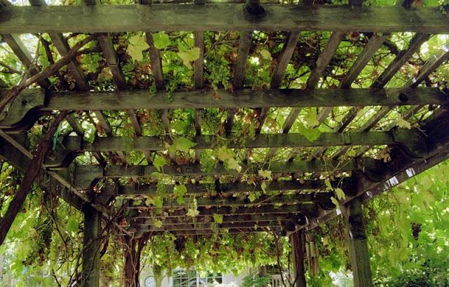 Pérgolas con racimos de uva