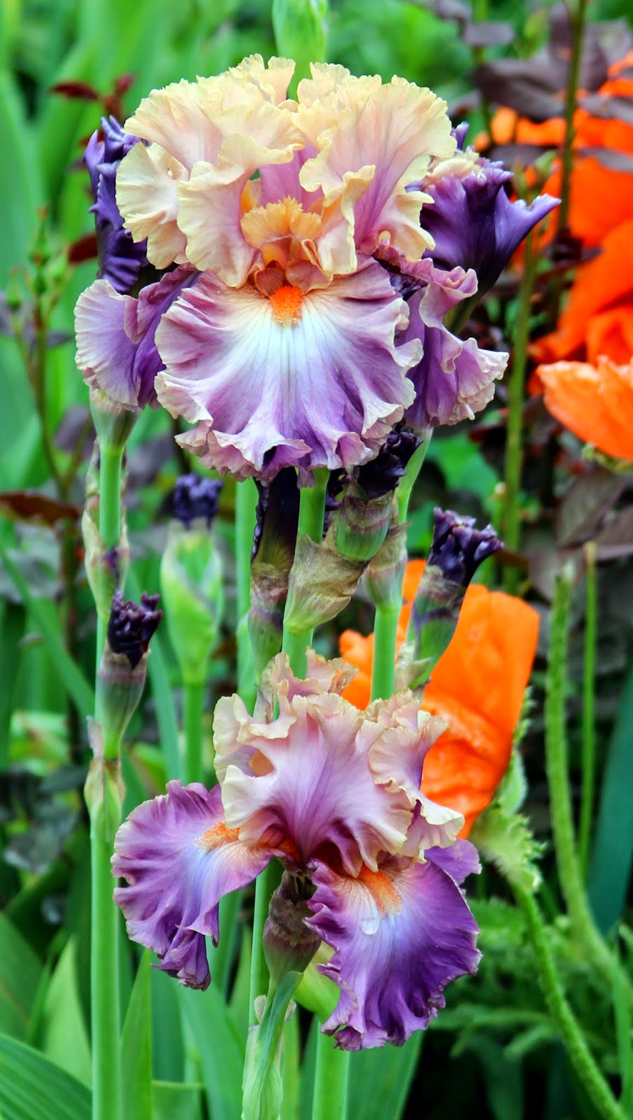 World Of Irises -4837