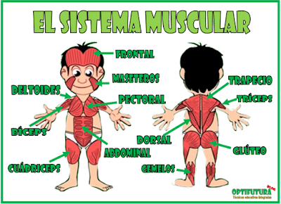 El Sistema Muscular Naturales Optifutura