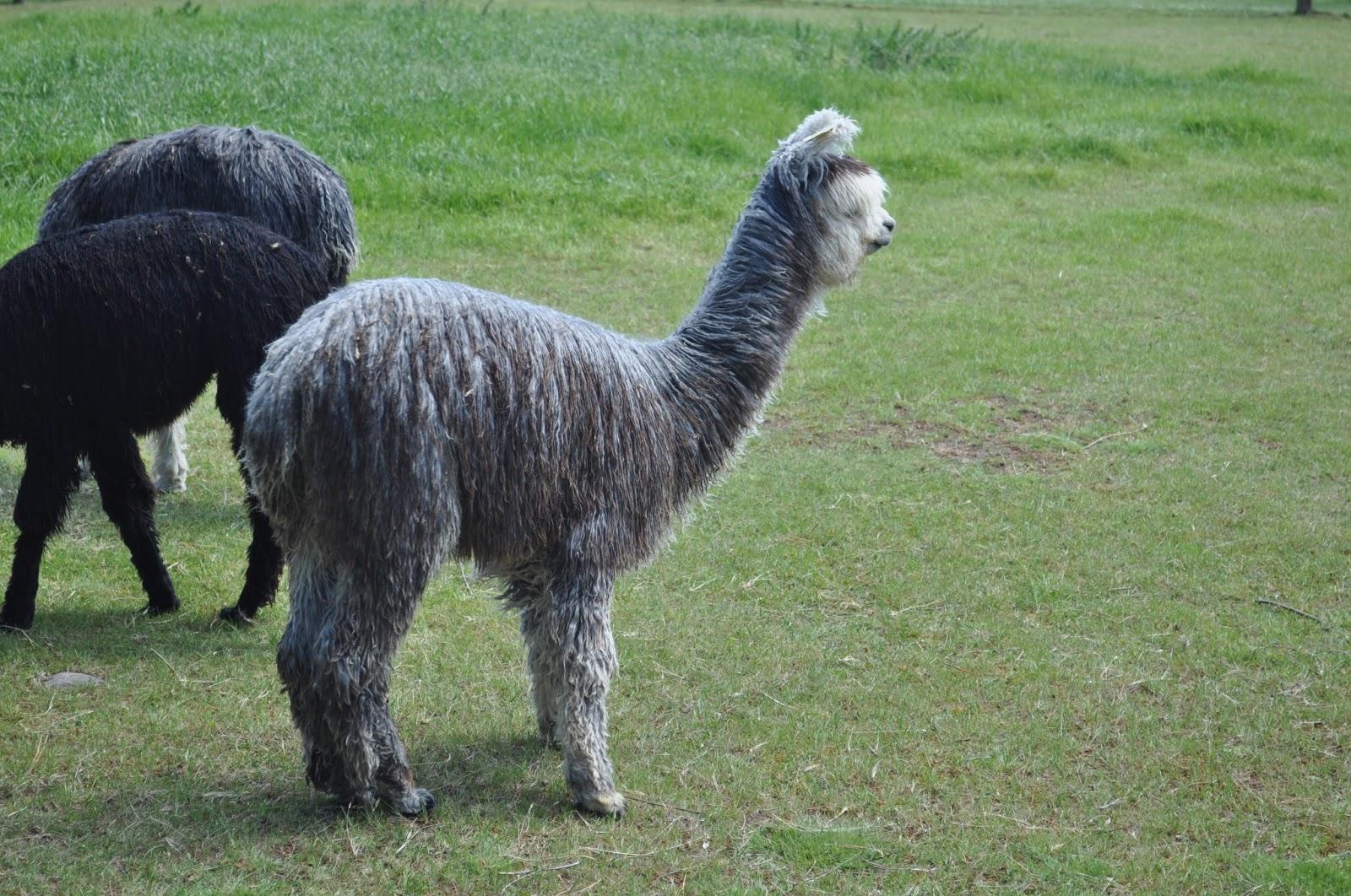 DUTCHCORNER: Visit to an Alpaca farm near Christchurch
