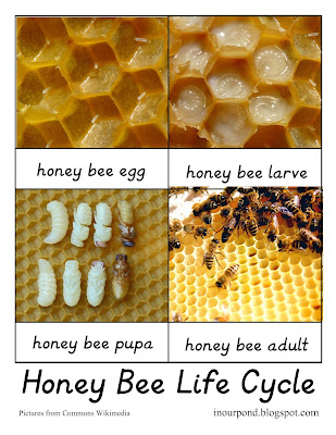 FREE Bee Life Cycle Card with Real Images from In Our Pond