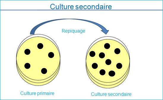 culture secondaire