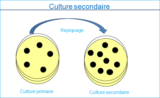 culture secondaire