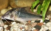 Jenis Ikan Corydoras semiaquilus
